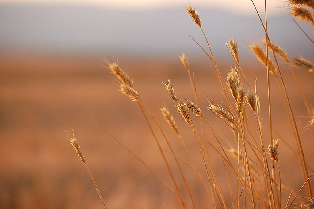 golden-wheat-1367800
